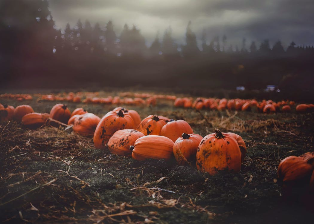 Clusters Of Pumpkin Scattered In The Field
