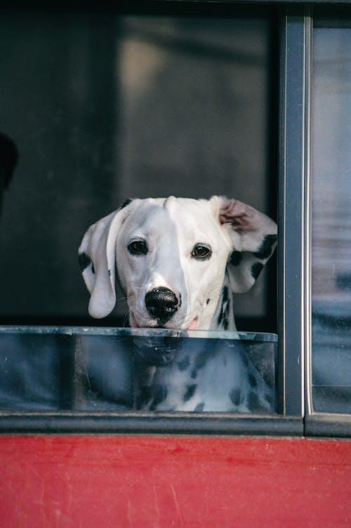 Photo of Dog Peeking on Vehicle Window