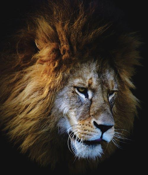 ライオン, 大きな猫, 捕食者の無料の写真素材
