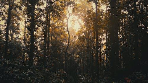 在树林里的夜晚, 常青树, 日落, 树木面积 的 免费素材照片