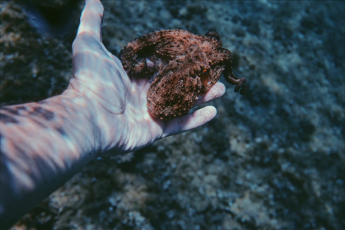 A Person Underwater Holding A Small Octopus