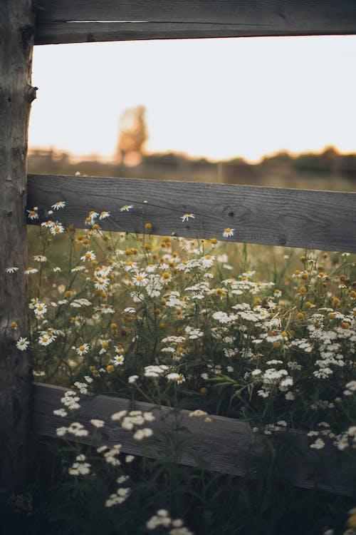 Fotos de stock gratuitas de camomila, cerca, crecimiento, de madera