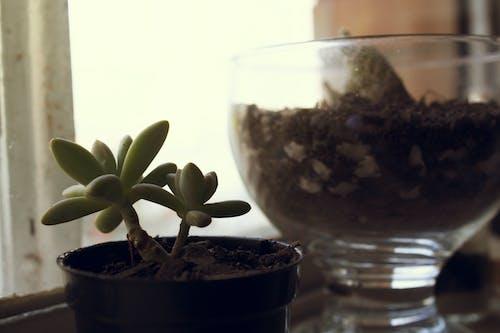 em vaso, jardinagem, インテリア, ヴェルデの無料の写真素材