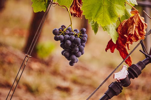 Free stock photo of grapes, purple grapes, vineyard, wine grapes