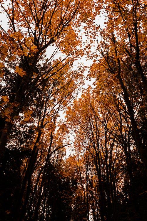 arbres, bosc de tardor, camp
