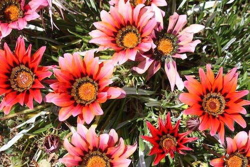 คลังภาพถ่ายฟรี ของ ดอกทานตะวัน, ดอกไม้ฤดูใบไม้ผลิ