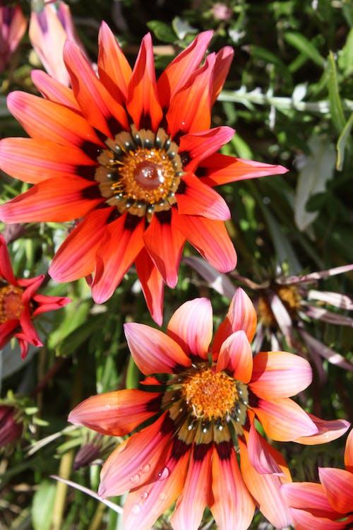 คลังภาพถ่ายฟรี ของ ดอกไม้สีแดง