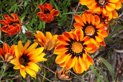คลังภาพถ่ายฟรี ของ ดอกส้ม, ดอกไม้ปิดขึ้น