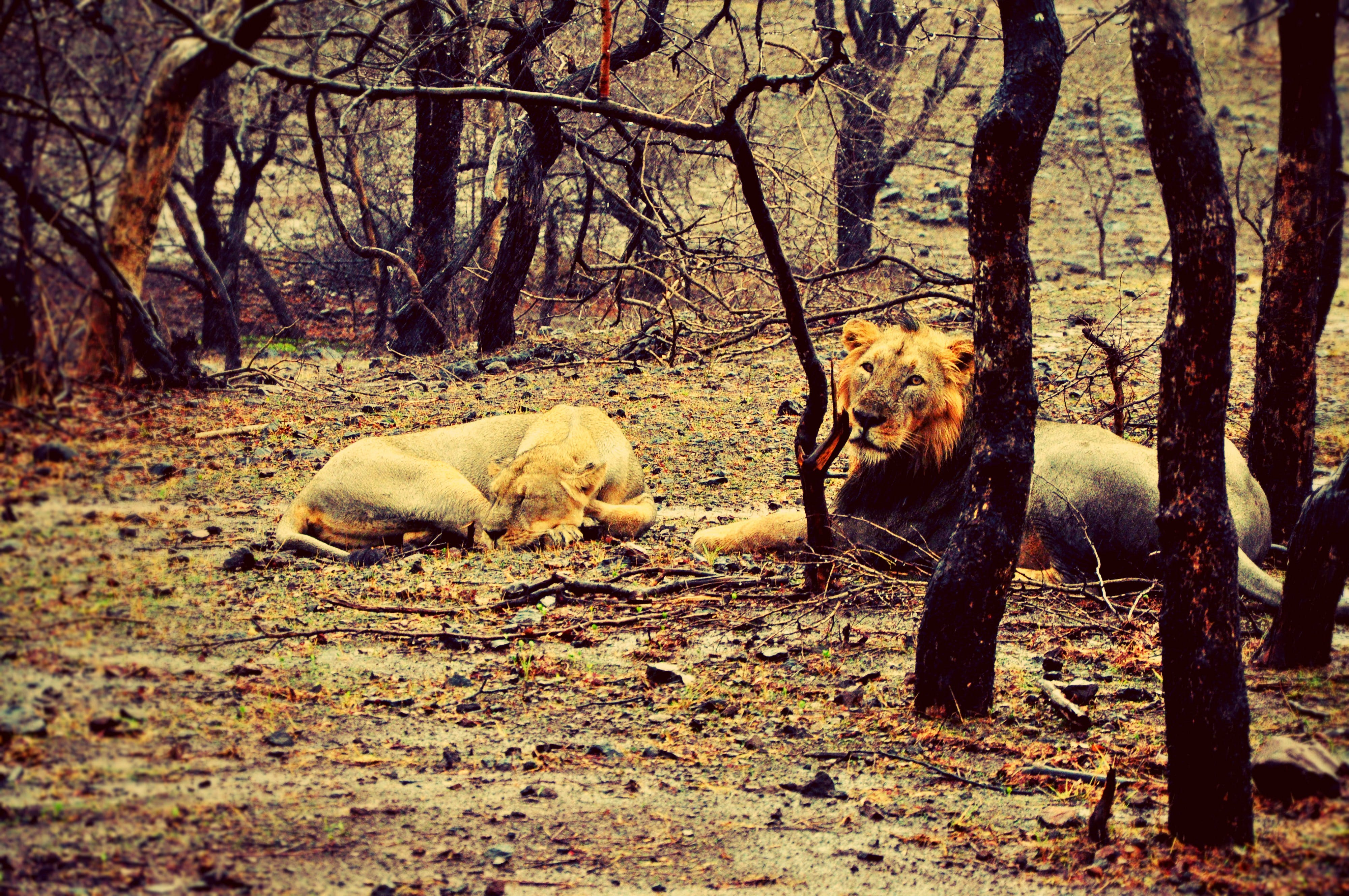 Free stock photo of gir forest, india, jungle, king of the jungle