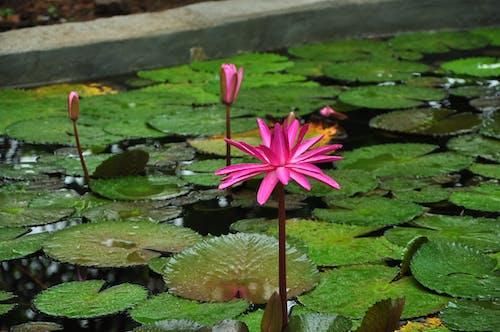 Free stock photo of beautiful flowers, flower, lotus, lotus pond