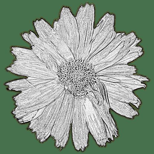 Free stock photo of dahlia, lone, painting, pencil