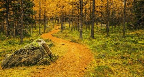 Free stock photo of aspen, autumn, autumn color, autumn leaves