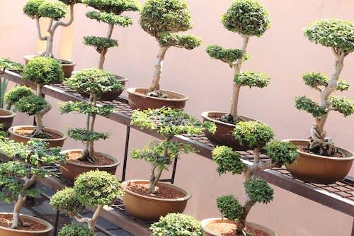 Foto d'estoc gratuïta de arbres bonsais