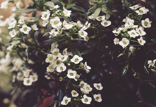 Fotobanka sbezplatnými fotkami na tému biele kvety, detailný záber, flóra, kvety
