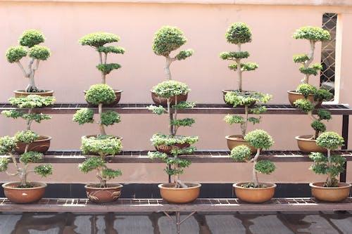 Foto d'estoc gratuïta de arbres de bonsais seguits