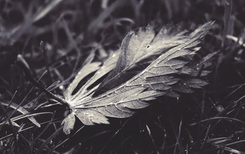 Fotobanka sbezplatnými fotkami na tému čierna a biela, detailný záber, jeseň, list