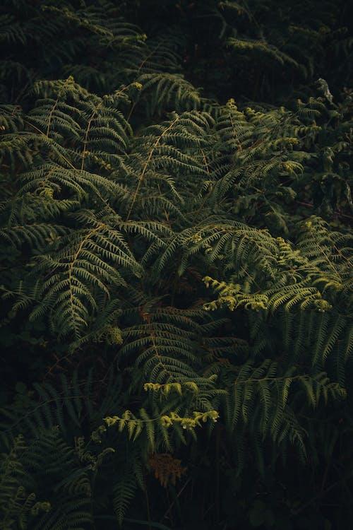 Kostenloses Stock Foto zu adlerfarn, blätter, farn, flora