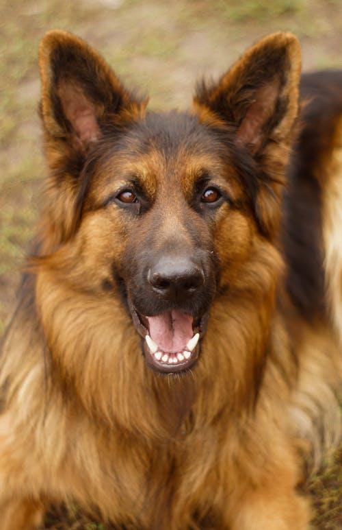 Darmowe zdjęcie z galerii z owczarek niemiecki, pies, uśmiech, zwierzę domowe