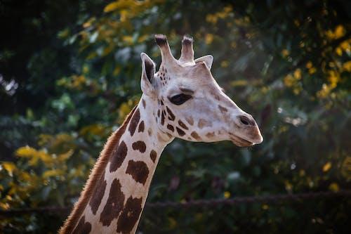 动物头, 動物, 動物園, 動物攝影 的 免费素材照片