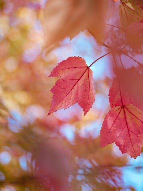 Ilmainen kuvapankkikuva tunnisteilla kuvan syvyys, lehdet, putoaminen, sumea