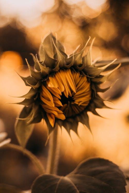 Ilmainen kuvapankkikuva tunnisteilla auringonkukka, hauras, kasvi, kasvikunta