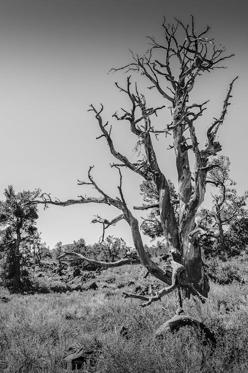 Immagine gratuita di albero nudo, appassito, bianco e nero, campagna