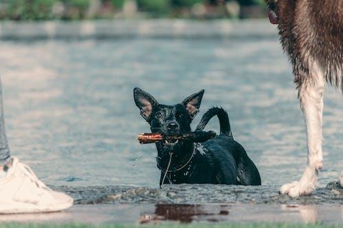 Darmowe zdjęcie z galerii z czarny pies, pies, przyjaciele, woda