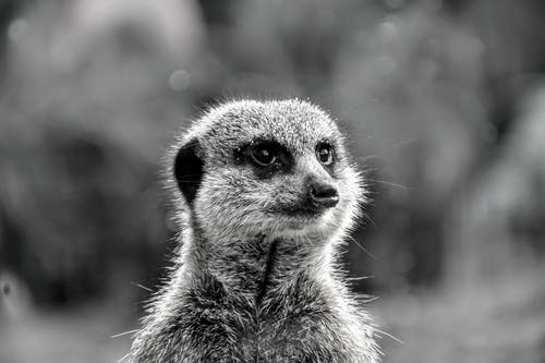 Free stock photo of grayscale, meerkat, simple