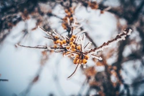 Gratis lagerfoto af forkølelse, frost, havtorn