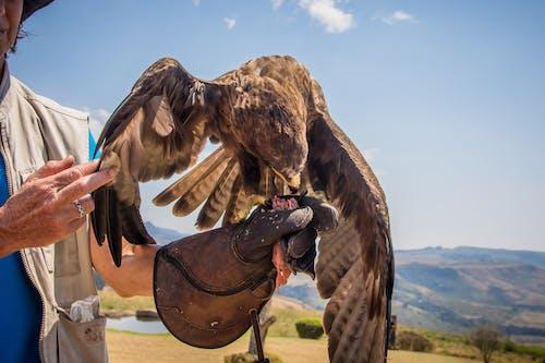 Foto d'estoc gratuïta de a l'aire lliure, àguila, ales, alimentant