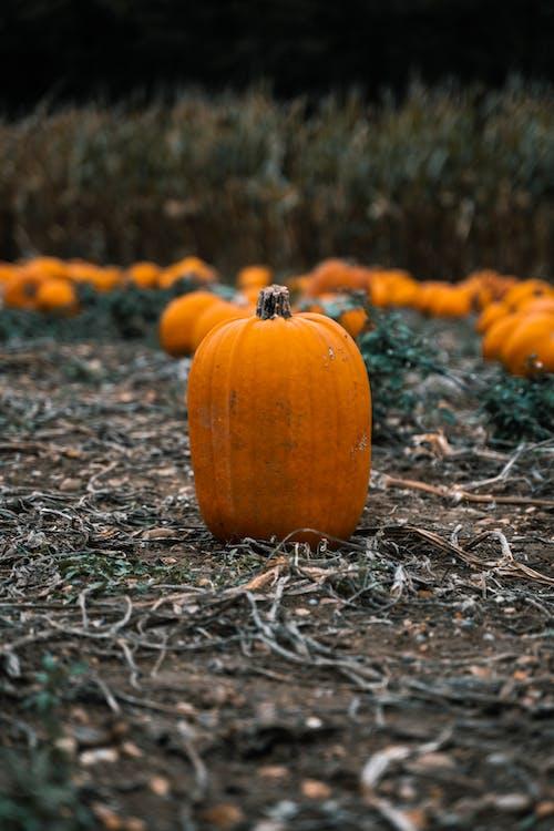 Free stock photo of autumn, autumn color, corn, corn field