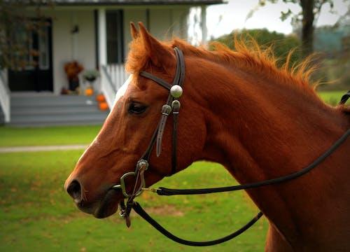 Free stock photo of arabian, horse chestnut, horse head