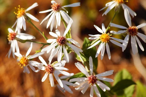 Free stock photo of beautiful flowers, daisies