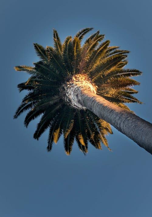 Photos gratuites de arbre, ciel bleu, cocotier, contre-plongée
