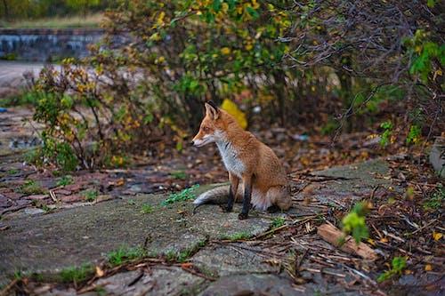 Fox Sitting On Pathway Between Plants