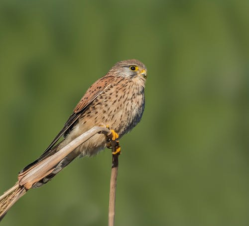 Free stock photo of falcon