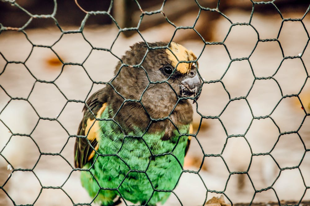 A parrot inside a metal cage. | Photo: Pexels