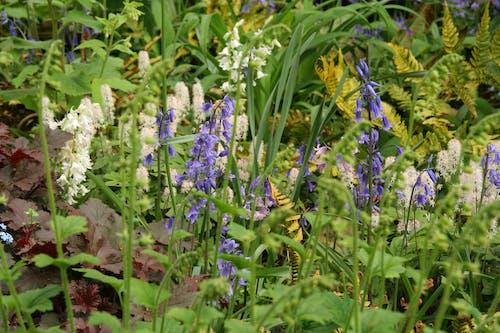 Free stock photo of bluebells, flowers, garden, nature