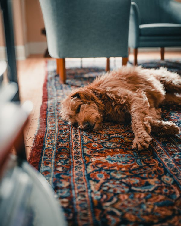 afslapning, dyr, hund