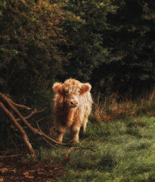 Immagine gratuita di animale, azienda agricola, bestiame, mammifero
