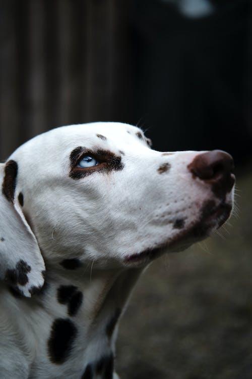 Close-Up Photo Of Dalmatian Dog