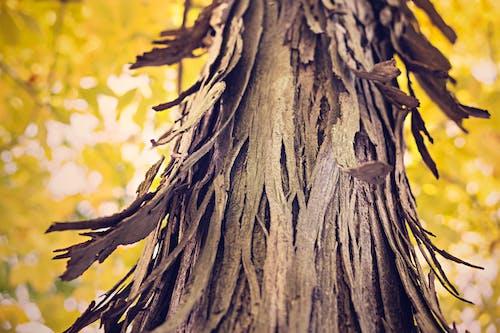 Бесплатное стоковое фото с Кора, лес, природа, шелушение