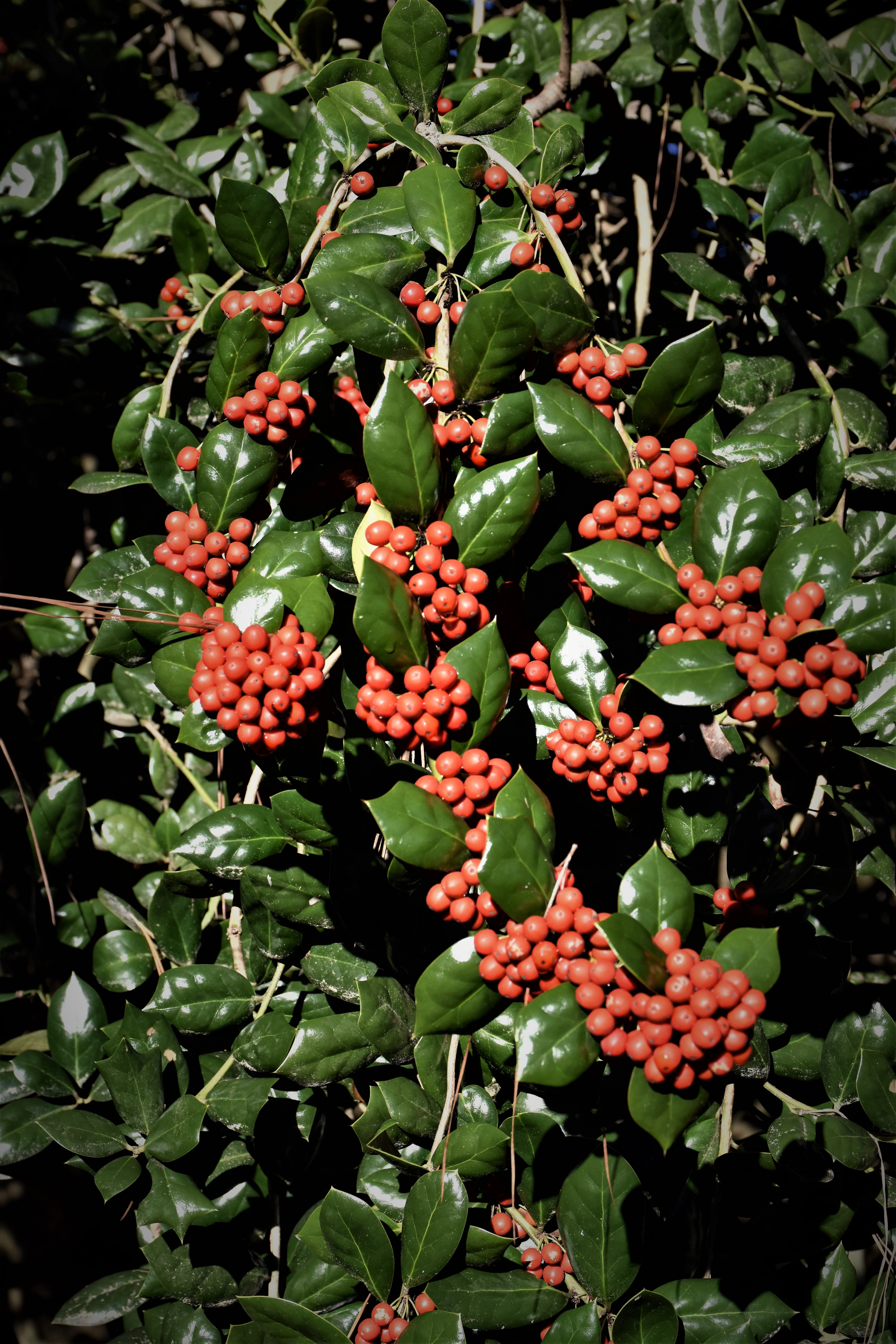 Free stock photo of christmas, holly, hollyberries