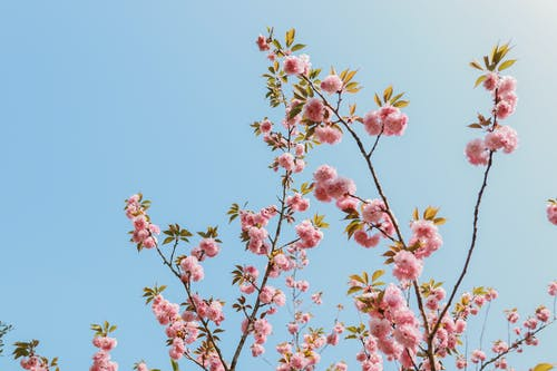Free stock photo of cherry blossom, flowers, japan, nature