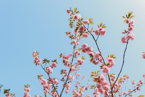 Ingyenes stockfotó cseresznyevirág, Japán, japáncseresznye, természet témában