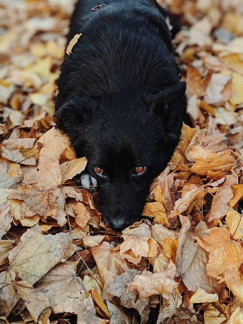 Close-up Photo of Black Schipperke Dog Resting on Dry Foliage