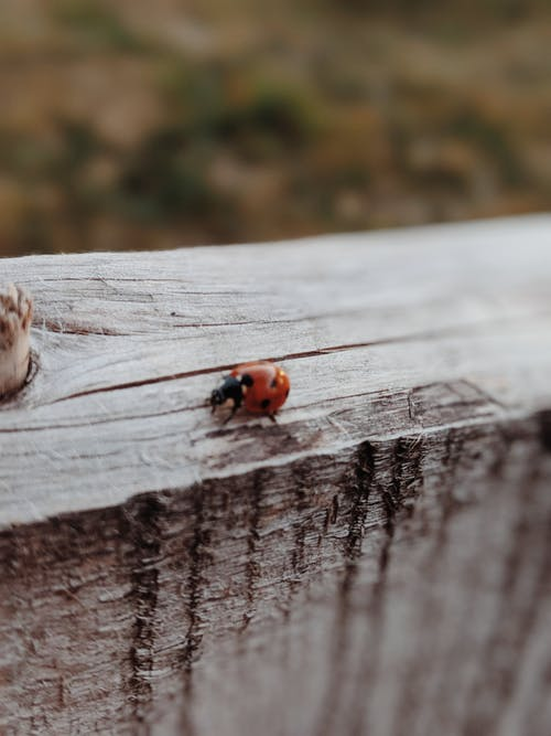 Ladybug on Wooden Surface