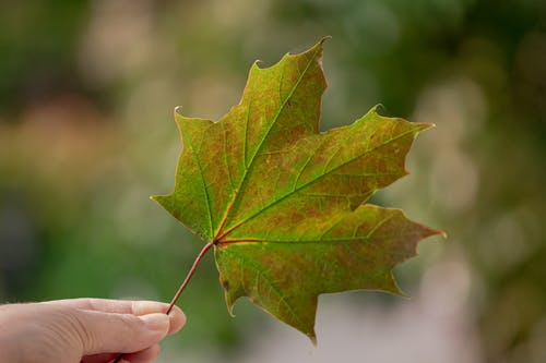 Selective Focus Photo of Person's Hand Holding a  Maple Leaf