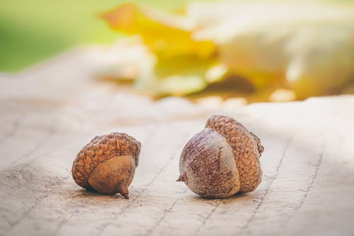Close-Up Photo of Two Acorns
