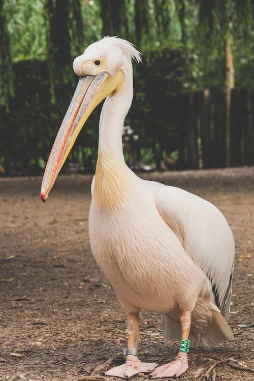 ayakta, büyük beyaz pelikan, hayvan, kuş içeren Ücretsiz stok fotoğraf